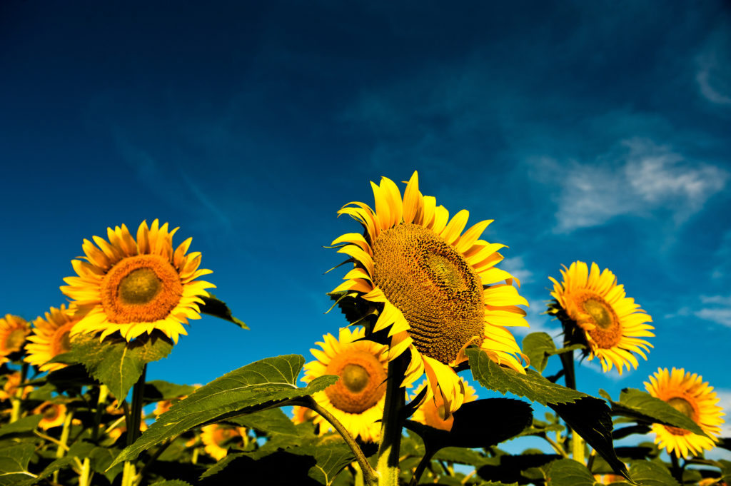 High Oleic sunflower oil as having a minimum % oleic (mono unsaturated) acid
